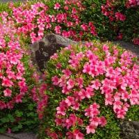 寺町散策!本満寺のシャクヤクの花は終わりかけ