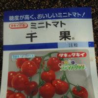 ミニトマトの芽出し