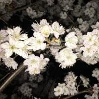 10日遅れで桜が満開に。今年も会えたね!
