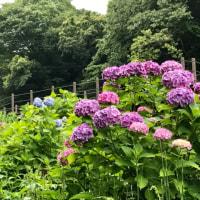 紫陽花の喜ぶ梅雨
