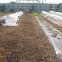 タマネギ エンドウ畝の準備