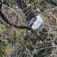 ごちゃごちゃの枝の陰にとまっていたのは、オオタカの成鳥。
