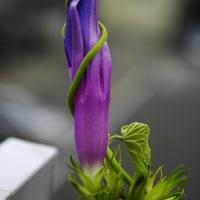 自らの花に巻きついた蔓