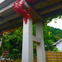 蔦の紅葉  2016