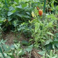 ハクサイとブロッコリーの定植