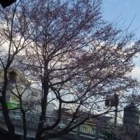 ブリの照り焼き、豚汁、ジャガイモサラダ、市民公園桜咲いてました