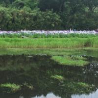 神楽女湖しょうぶ園へ雨の中 てくてく〜〜