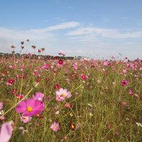 羽生のコスモス畑