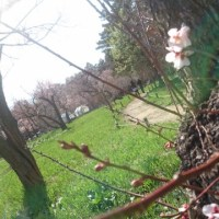 Cherry blossoms started flowering.