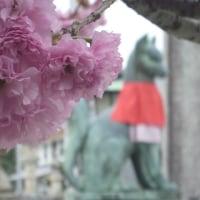 豊川稲荷 八重桜