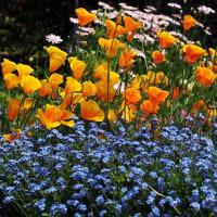 花だ~~!!主張しています・・ハナビシソウとワスレナグサの饗宴