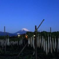 富士山 箱根山麓 初冬の風物詩 「白いダイヤ追い... 」