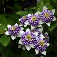 夏至に園芸種 ストケシア クレマチス モモバキキョウ