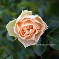 アンティーク・レース  癒しのバラ