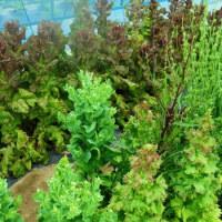 サラダ系野菜の撤収