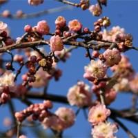 しだれ梅 去年より花の量を盛り返しと~る…傷だらけの天使 修の息子・健太の回 録画わすれ~る
