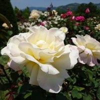 河津バガテル公園 (静岡県河津町) 夏バラ8割ほど開花
