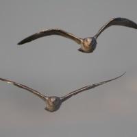 2月19日  カモメの直進飛翔