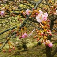 桜がそろそろです♪