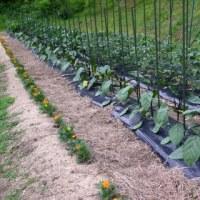 ◆ 野菜の成長