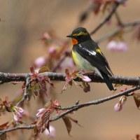 今日の鳥 キビタキ 今季初見初撮り 桜の蕾にも来てくれました