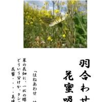 なんともいい香り~~~菜の花の香り・・・菜の花畑