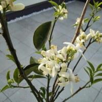 ネーブルの花