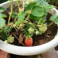 本日の朝練。我が家のイチゴが・・・。