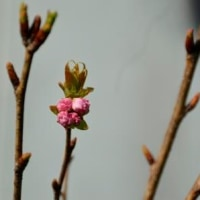 天の川桜 もう直ぐ4.26