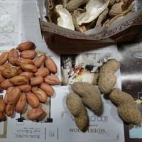 豆の収穫と種蒔き