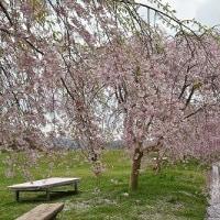 たけべの森公園 桜