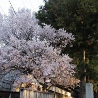 盛岡の桜2017