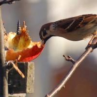リンゴを食べる雀