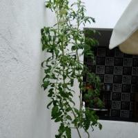 トマトの成長記録  Tomato's growth record 5/27
