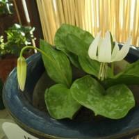 珍しい白花カタクリや月下美人、大温室の花々。