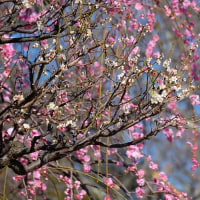 春間近、梅が満開になっていました