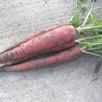 「巨大輪金魚草」苗の植え付け