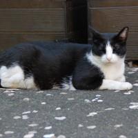 根津片町 黒白猫