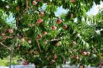 山梨へ桃狩りに行ってきました。