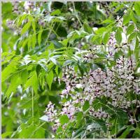 センダン(栴檀)の花
