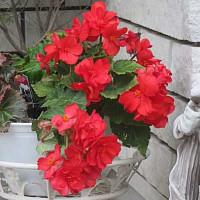 ベコニアという花