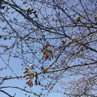 桜はまだかいな♪