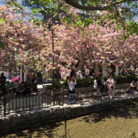 春爛漫の京都 〜 高瀬川の八重桜