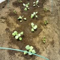 夏キャベツの定植