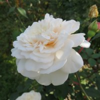深まる秋・まだ咲き誇るバラ・ダリア