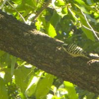 太い枝をつつくコゲラ
