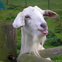 ヤギの放牧で耕作放棄地の復活目指す