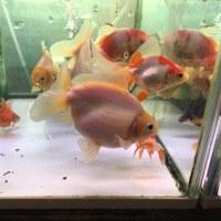 大きめ金魚いろいろ