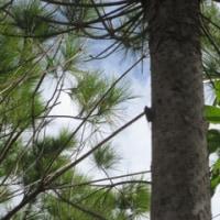 今日の感動は「オオシマゼミ」のケーン、ケーンと声高に響く鳴き声とそのこだまする林である!