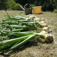 玉ねぎ収穫しました